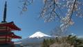 忠霊塔と富士山  桜咲く新倉山浅間公園 49822063