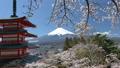 桜咲く新倉山浅間公園・忠霊塔と富士山 49822070