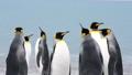 King Penguins on the beach 49869328