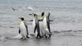 King Penguins on the beach 49869336