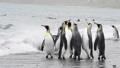 King Penguins on the beach 49869339