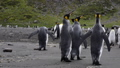 King Penguins on the beach 49869340