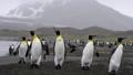 King Penguins on the beach 49869341