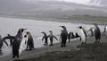 King Penguins on the beach 49869342