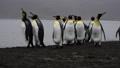 King Penguins on the beach 49869353