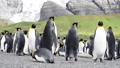 King Penguins on the beach 49869354