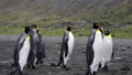 King Penguins on the beach 49886211
