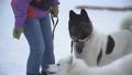 Samoyed and Akita dogs 49893046
