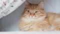 Cute ginger cat lying under blanket in bed. Fluffy pet with curious face expression. 49927928