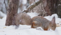 Ginger squirrel sits on snow in the winter forest. Curious rodent eating a nut. 49935137