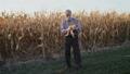Senior farmer peels corn stalk and checks harvest in a field in sunny day 49948544