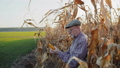 Senior farmer examining corn stalk among the field in sunny day. FullHD 49948554