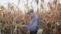 Senior farmer examining corn stalk among the field in sunny day. FullHD 49948570