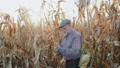 Senior farmer examining corn stalk among the field in sunny day. FullHD 49948590