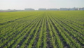 Background of spring wheat growth on field 49948602
