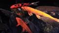 錦鯉鯉魚水面游泳景觀魚塘鯉Zenfukuji公園東京 49966538