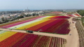 Persian Buttercup Flower Field Fly Over 49971025