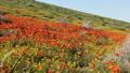 oppy Flowers Dolly Shot California Super Bloom 49971236