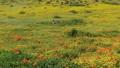 oppy Flowers Dolly Shot California Super Bloom 49971237
