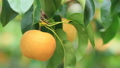 Farmer harvesting Japanese pears on plantation 50023014