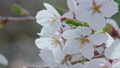 Close-up of cherry blossoms 50027812