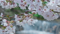 A waterfall with sparkling cherry blossoms and water 50027815