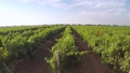 Green Rows of Young Vineyard. Aerial View 50035098