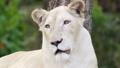 female white lion face close up 50098492