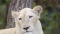 female white lion face close up 50098494