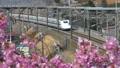 桜と東海道新幹線(音声あり)-103542 50122501