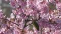 桜とメジロ-110047 50122504