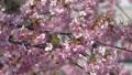 桜とメジロ-110605 50122506