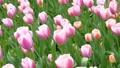 Tulip 50137460