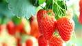 Farmer gathers harvest Strawberries. 50157463