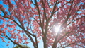 Beautiful cherry blossom sakura in spring time over blue sky. 50167500