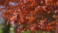 Red maple tree foliage under sunlight background. Red Sunset tree 50167723