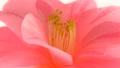 椿の花 ズームアウト 50183655