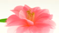 椿の花 横パン 50183656