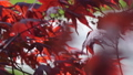 Red maple tree foliage under sunlight background. Red Sunset tree 50202555