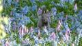 Wild squirrel basking in the blue and pink flower garden 50254619