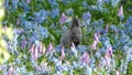 Wild squirrel getting up and alert from blue and pink flower garden 50254620