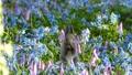 Wild squirrel found feeding from the blue and pink flower gardens 50254621