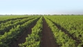 Many Rows of Vineyard. Aerial View 50294297