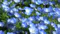Nemophila和日立海滩公园(茨城县) 50312946