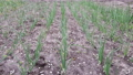 close-up of onion plantation sprouts 50329800