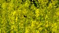 꿀벌 놀이 만발한 유채 꽃 50340551
