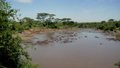 Panorama Rookery Herd Of Wild Hippos In The African Mara River With Brown Water 50360946