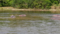 Aerial View Of Wild African Hippos In The River Near The Shore With Bushes 50363290