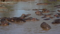 Panorama Rookery Big Herd Of Hippos In The African Mara River With Brown Water 50390423