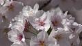 樱花和敦贺城堡公园(福岛县,会津若松市) 50433753